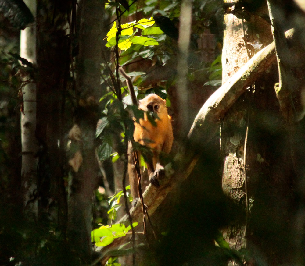 Golden bellied mangabey in the wild.