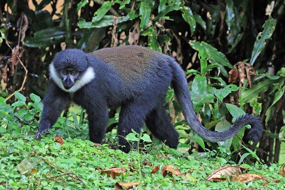 L'Hoest's monkey.