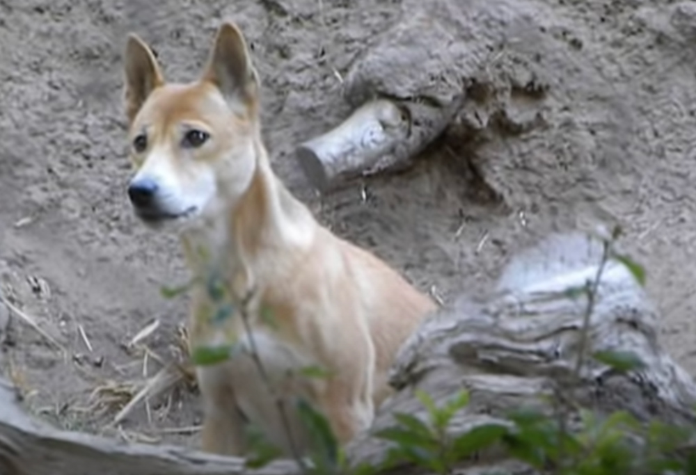 Scientists Discover The 'Extinct' New Guinea Singing Dog Is Still Alive In The Wild