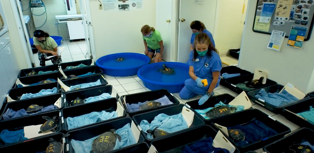 The 40 sea turtles were flown to the Florida Keys for treatment.