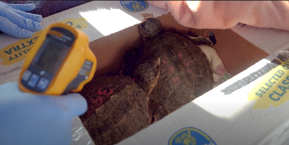 Kemp's Ridley sea turtles are both the most endangered and the smallest species of sea turtles in the world.