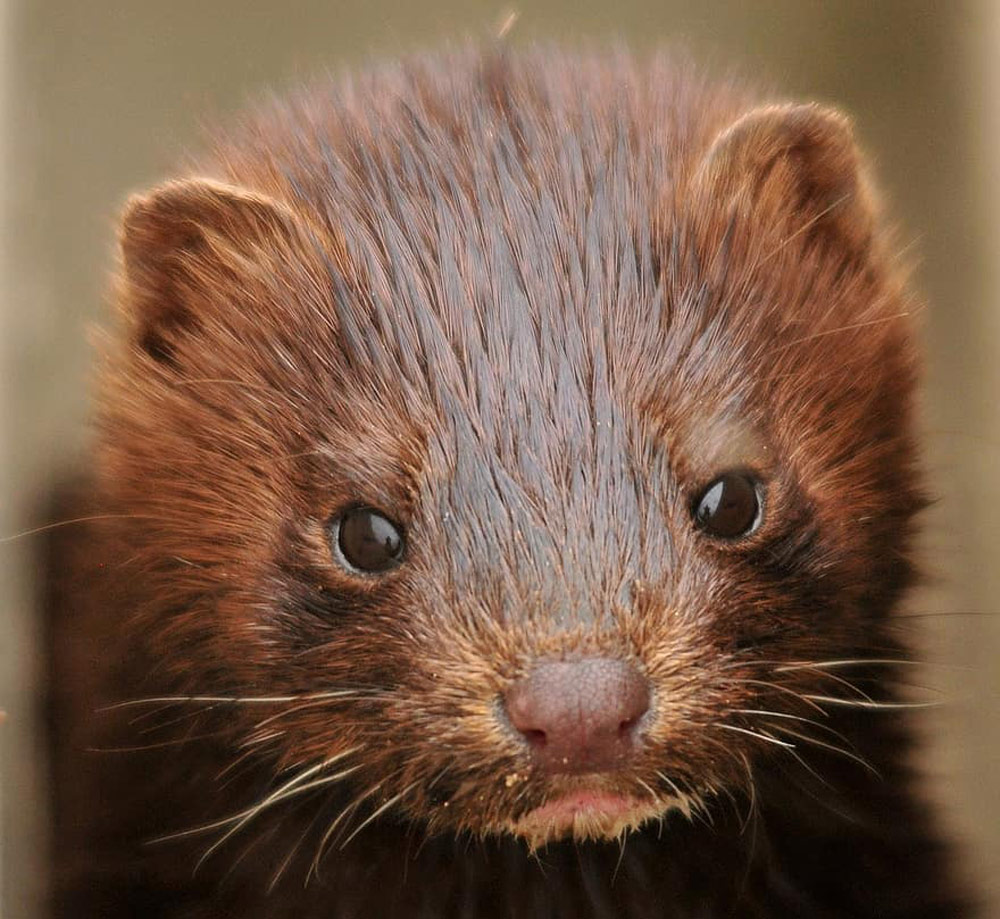 The government of Denmark intends to cull millions of mink to stop the disease from spreading.