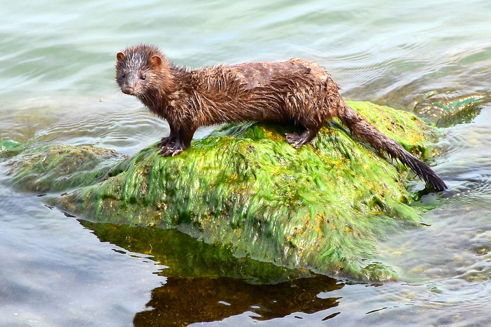 No other wild mink have tested positive for the coronavirus disease.