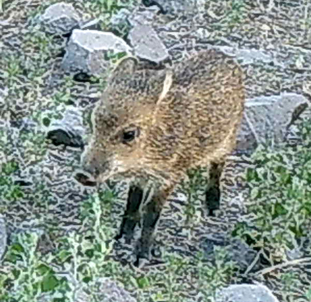 A baby peccary