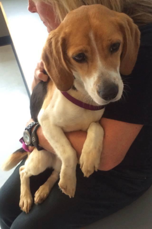 rescue beagle foster failure