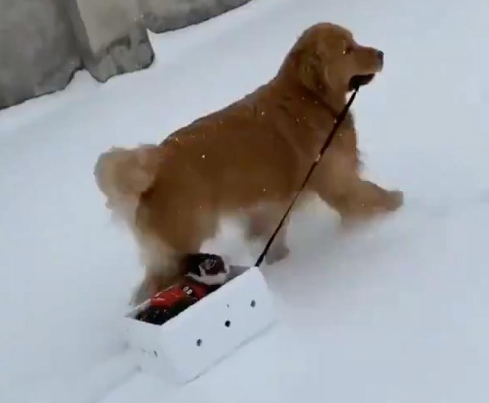 A Golden Retriever takes her cat friend for a sleigh ride through the snow.