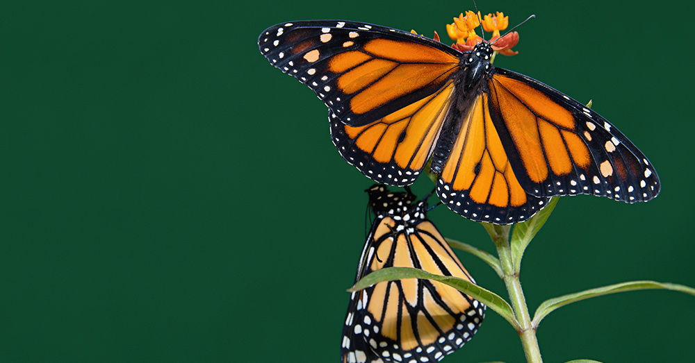 Monarch butterflies are endangered, and much of their critical habitat now goes unprotected.