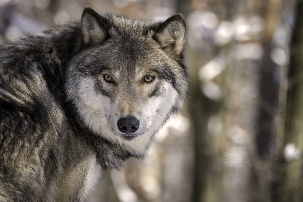 Gray wolves are an ESA success story.