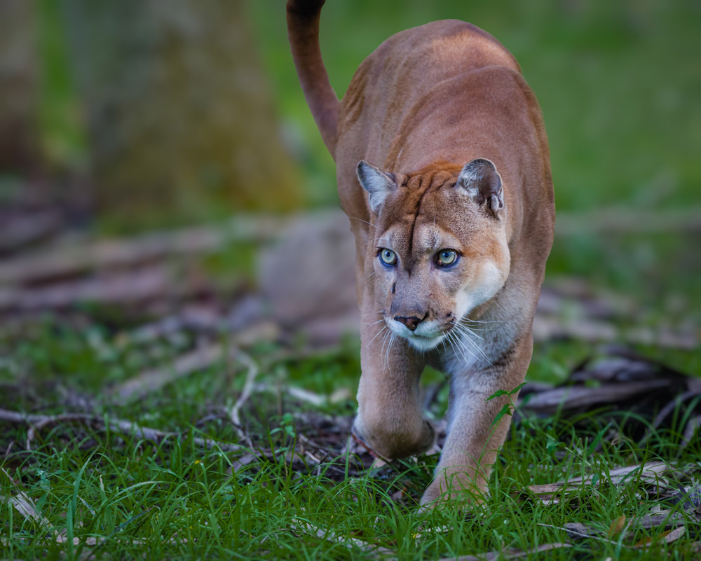 The Florida panther is an endangered species.