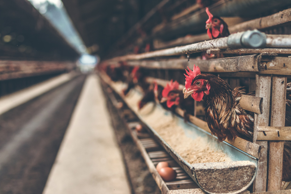 Humane statements are often applied to meat, poultry and eggs.