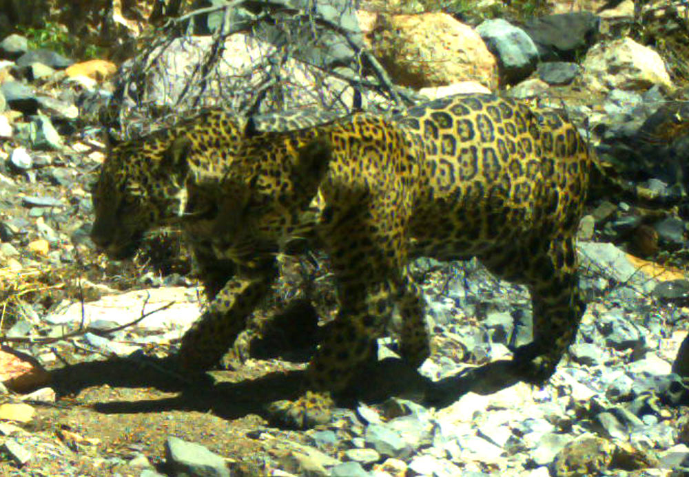 Wildcats captured on trail camera.