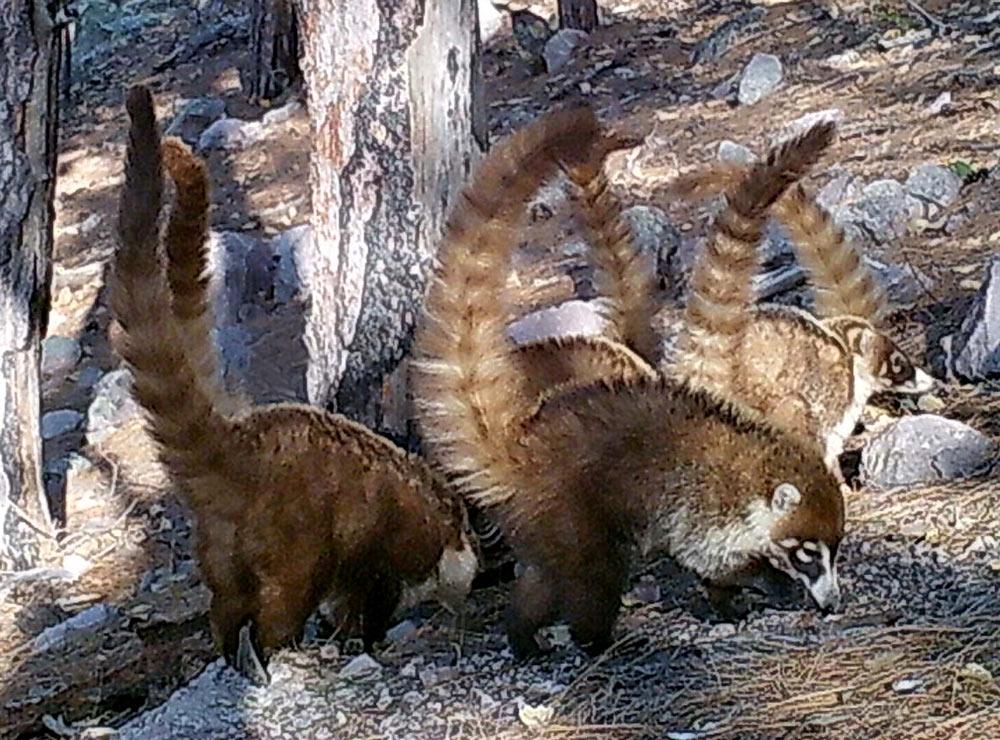 Coati are threatened by habitat loss.