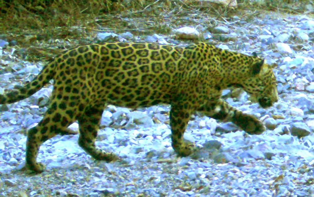 Wildcats flourish in the Sonoran Sky Islands.
