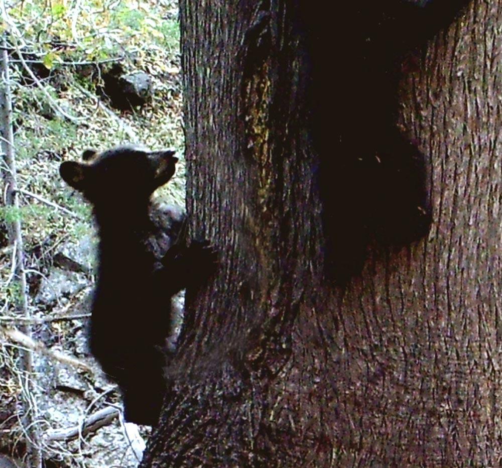 A young bear climbing a tree.