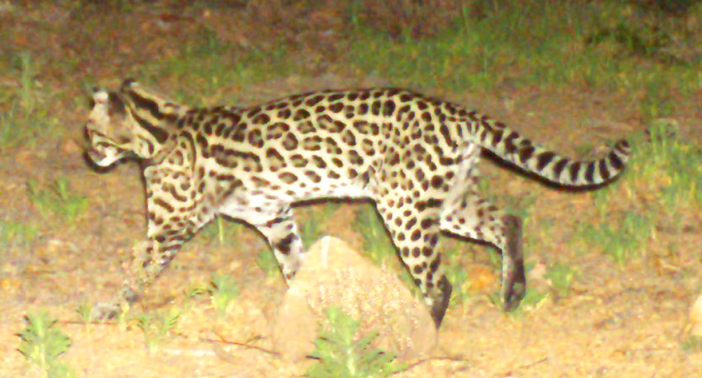 An ocelot captured on one of the Madrean Discovery Expedition's trail cameras.