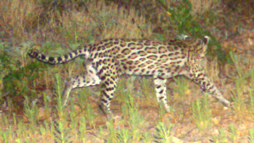 Ocelots have a place to thrive in the Sonoran Sky Islands.