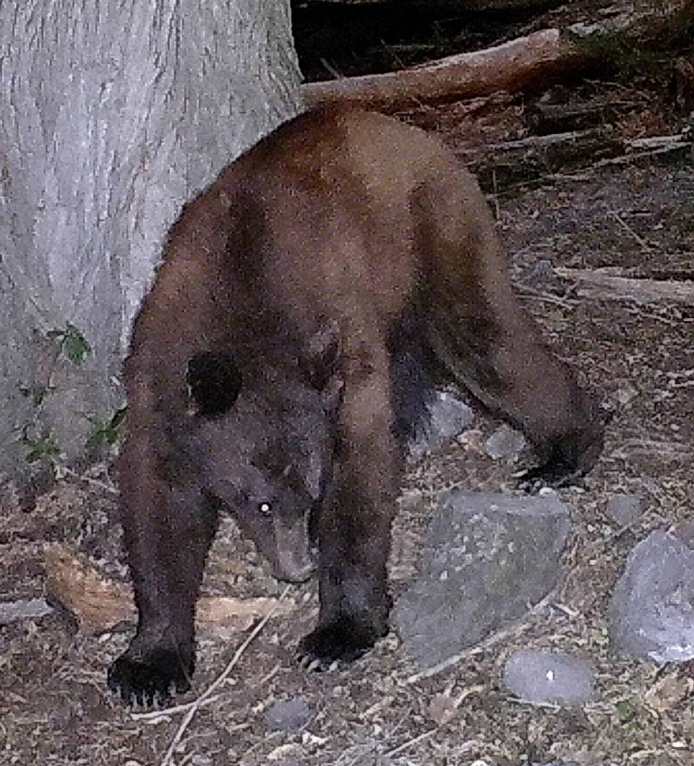 Black bear caught on trail camera.