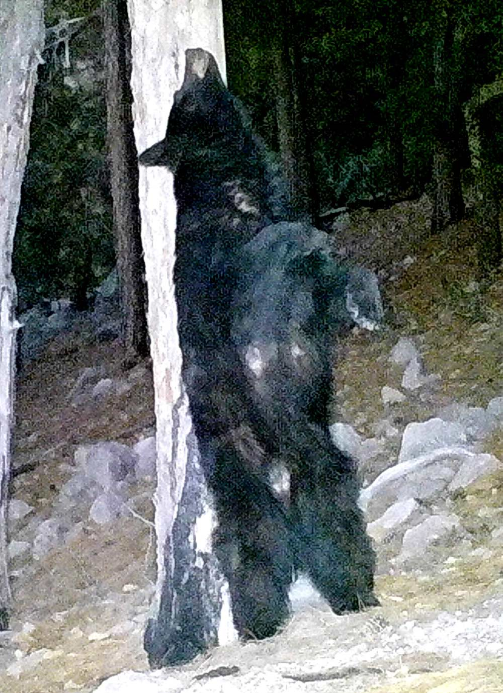 A bear scratches its back on a tree.
