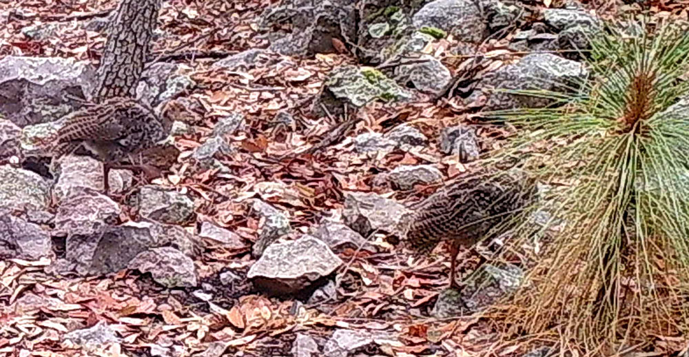 The turkeys have exceptional camouflage, especially near the ground.