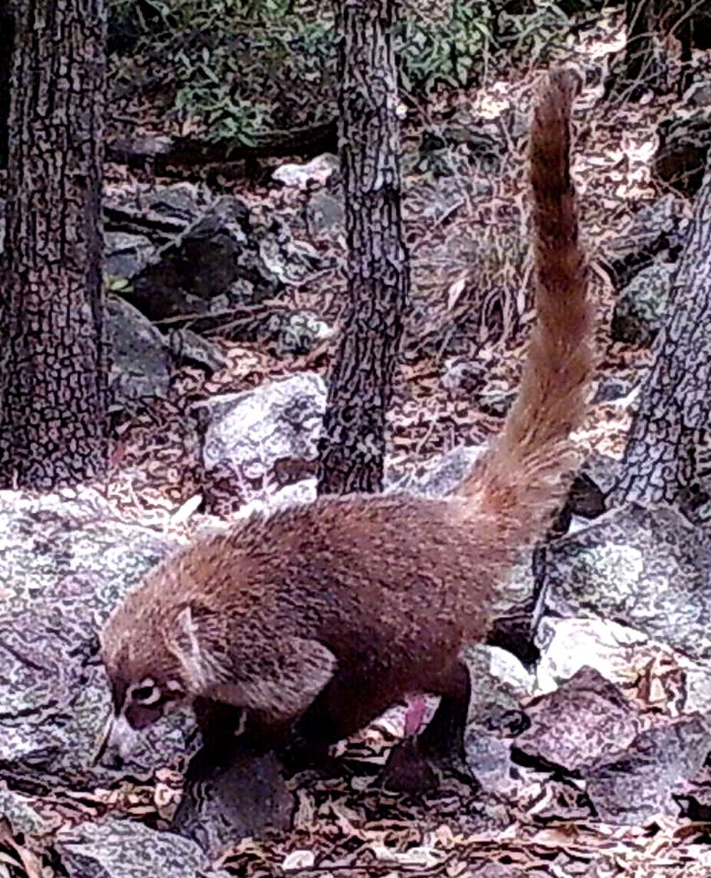 Coati caught by Madrean Discovery Expedition cameras.