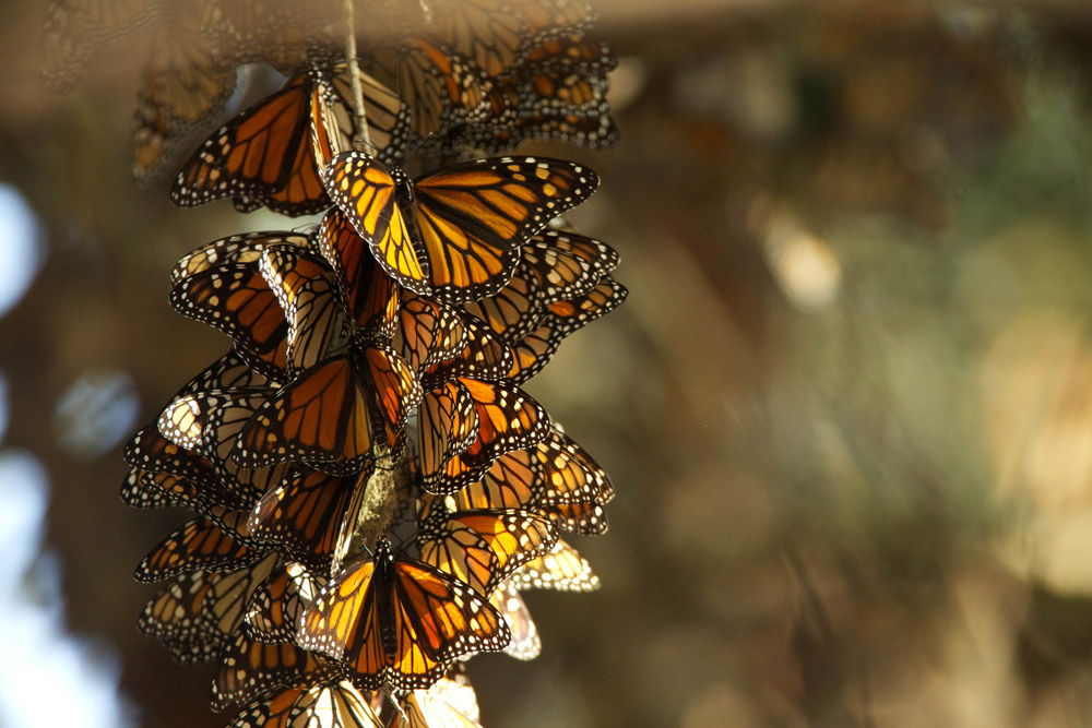 If this insect is not protected soon, we may lose the monarch butterfly forever.