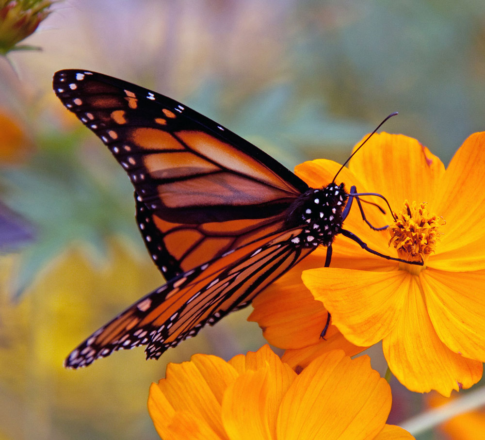 Researchers believe we may only have a few years left with the monarch butterfly.