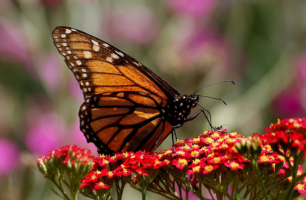 Monarchs have little food to forage on their 3,000-mile trip from Canada to Mexico.