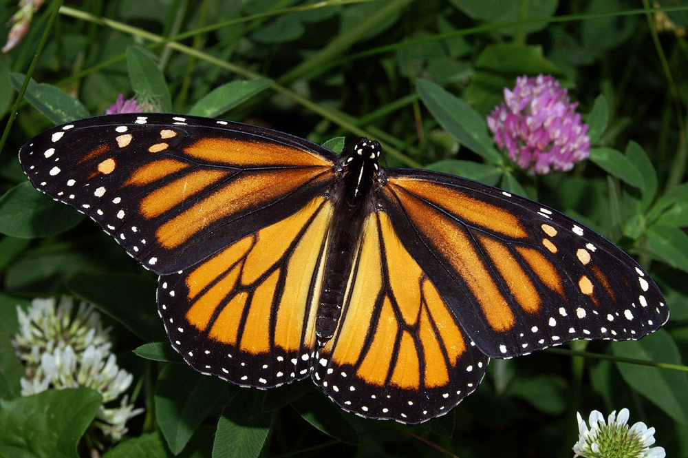 Milkweed, one of the monarch's main sources of food, is losing the battle to herbicides and climate change.