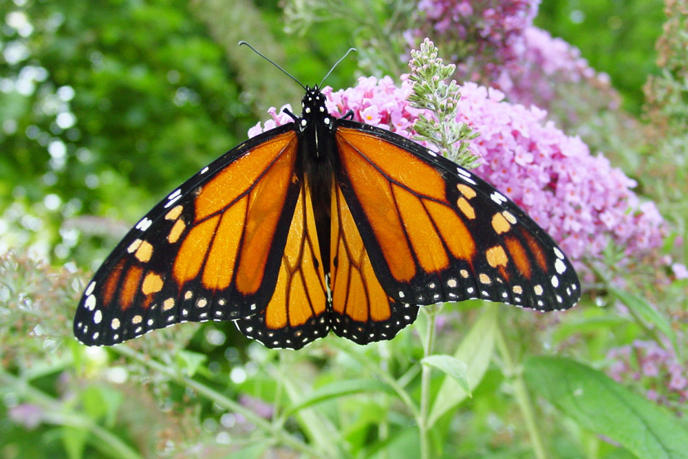 Researchers worry that the monarch butterfly may soon go extinct.