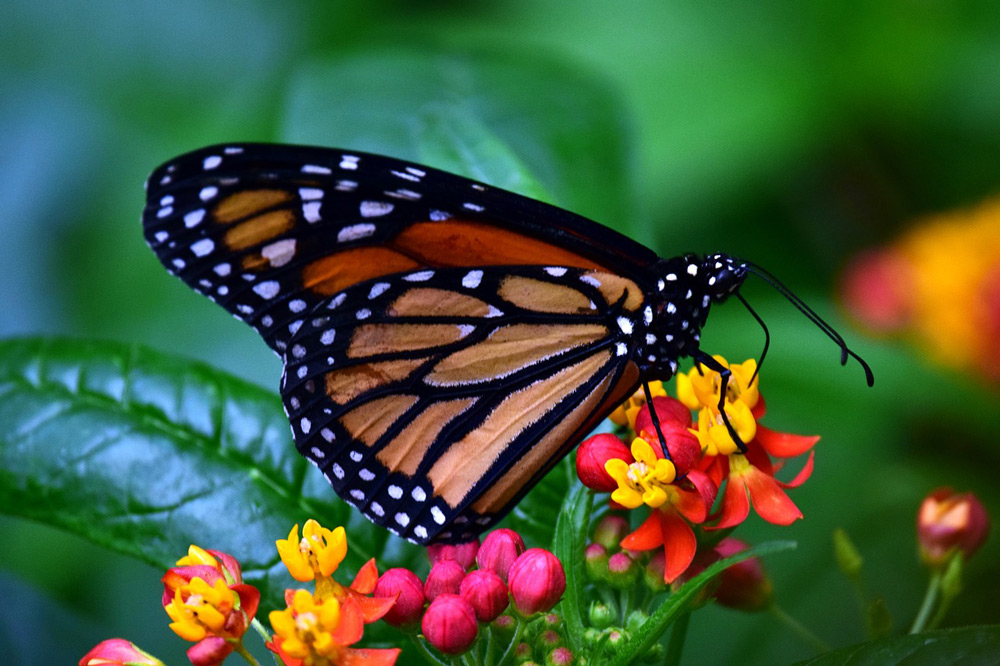 Only 2,000 monarch butterflies were found along the California coast in December 2020.