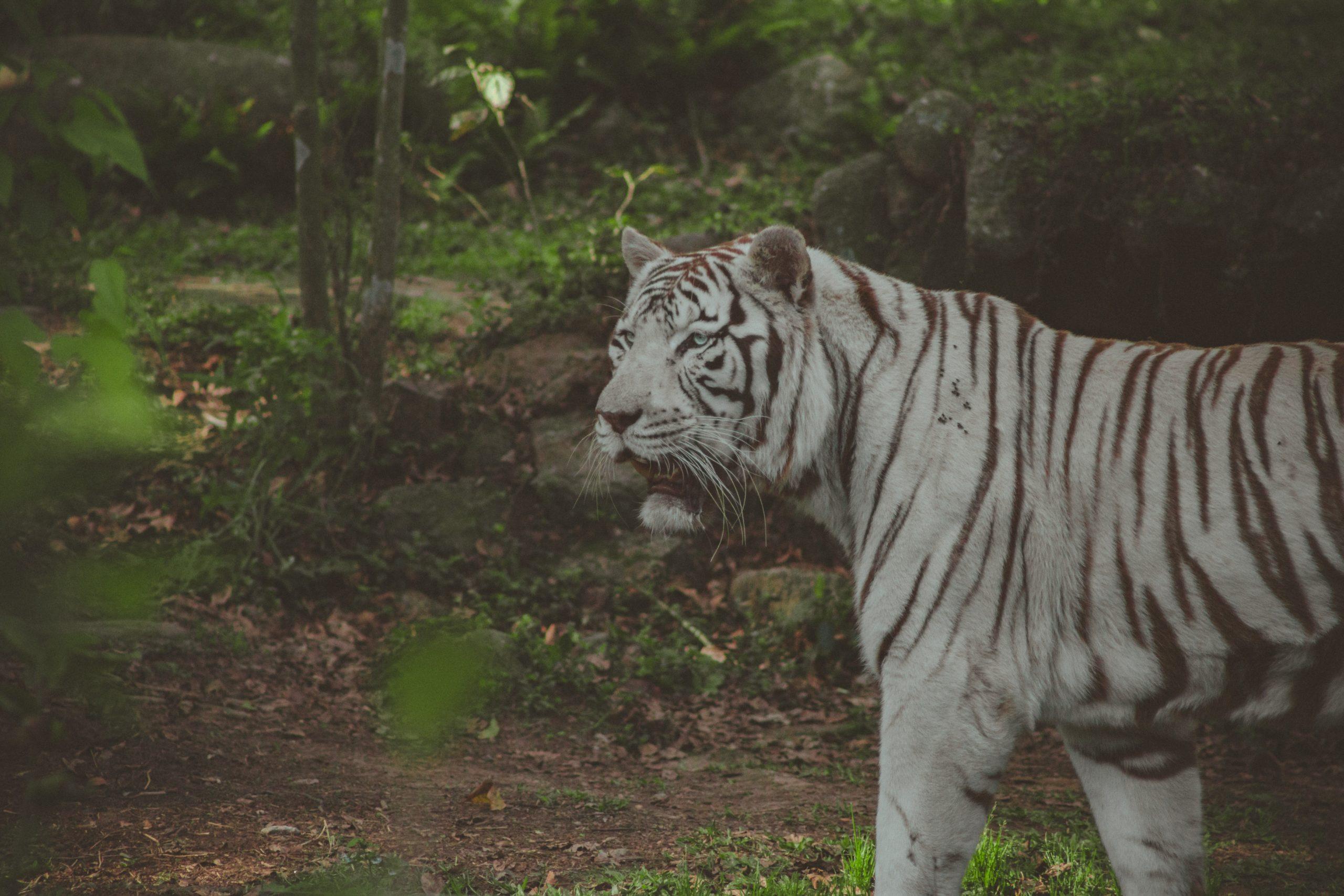 albino animals tiger