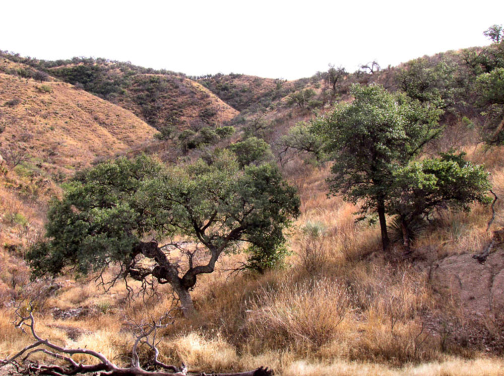 Oak savannah at Ranco El Aribabi.