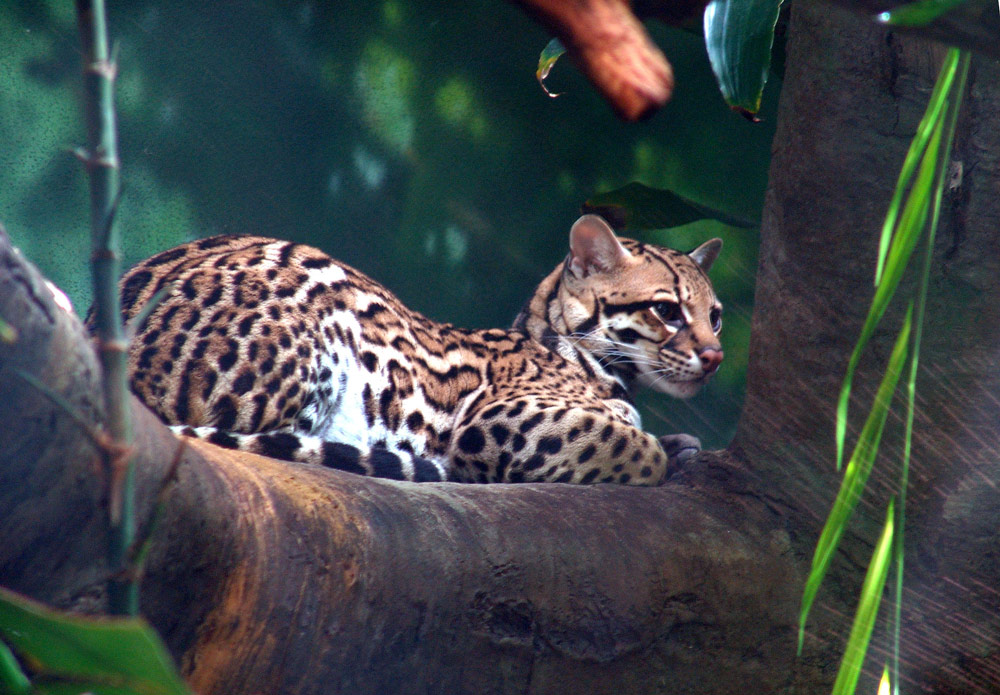 An ocelot resting in the trees.