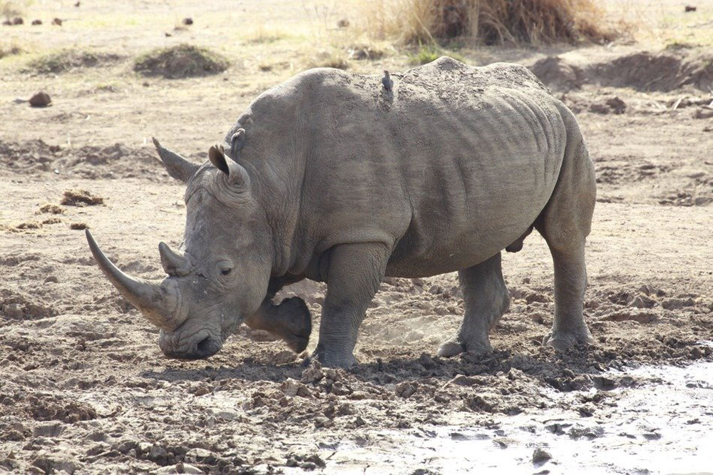 Rhino horns can be traded with a special permit in South Africa.