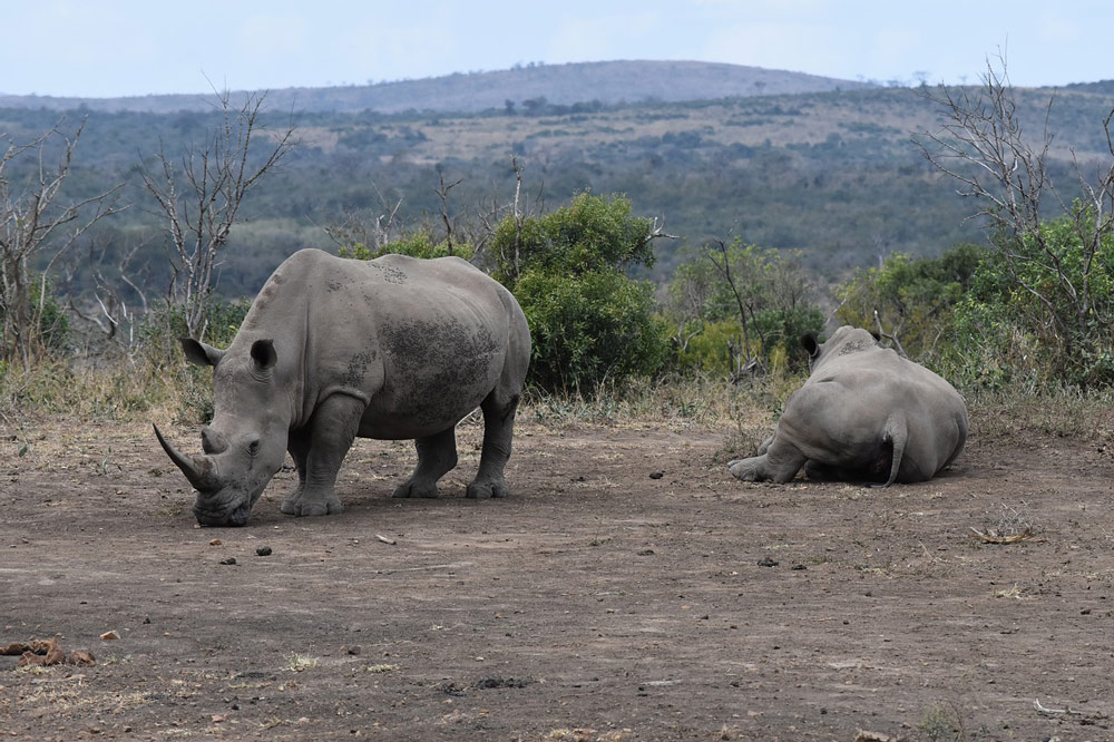 As many as three rhinos a day are taken by poachers.