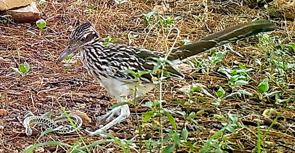 Road runner attacking a gartersnake. The snake is in a defensive pose with its body flattened showing the bold pattern. Roadrunners are fearsome predators.
