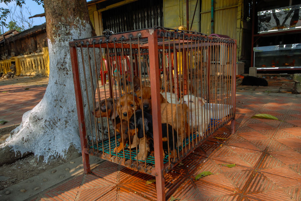 Dogs are often abused and starved before being slaughtered for meat.