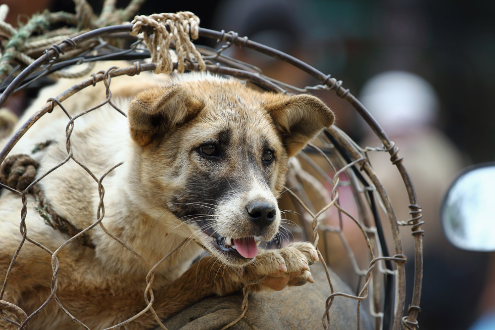 Attitudes toward eating dog meat are changing in southeast Asia.