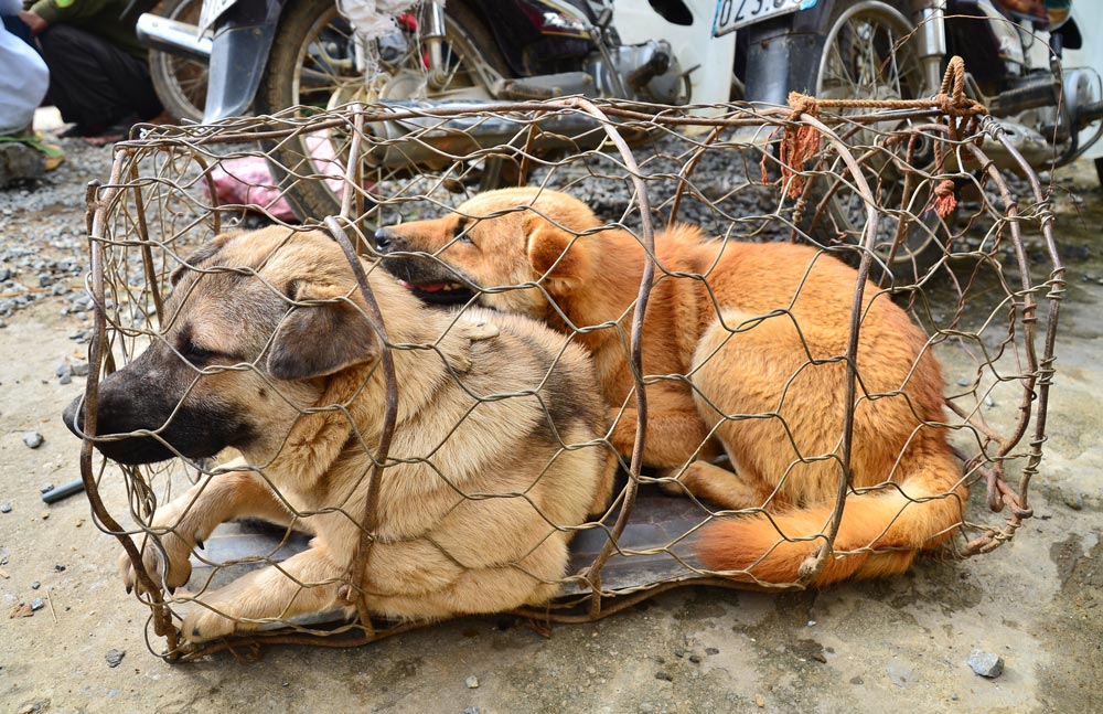 About 5 million dogs are eaten in Vietnam every year.
