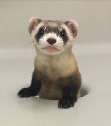 clone black-footed ferret Elizabeth Ann sticks half her body out of a hole and stares at the camera