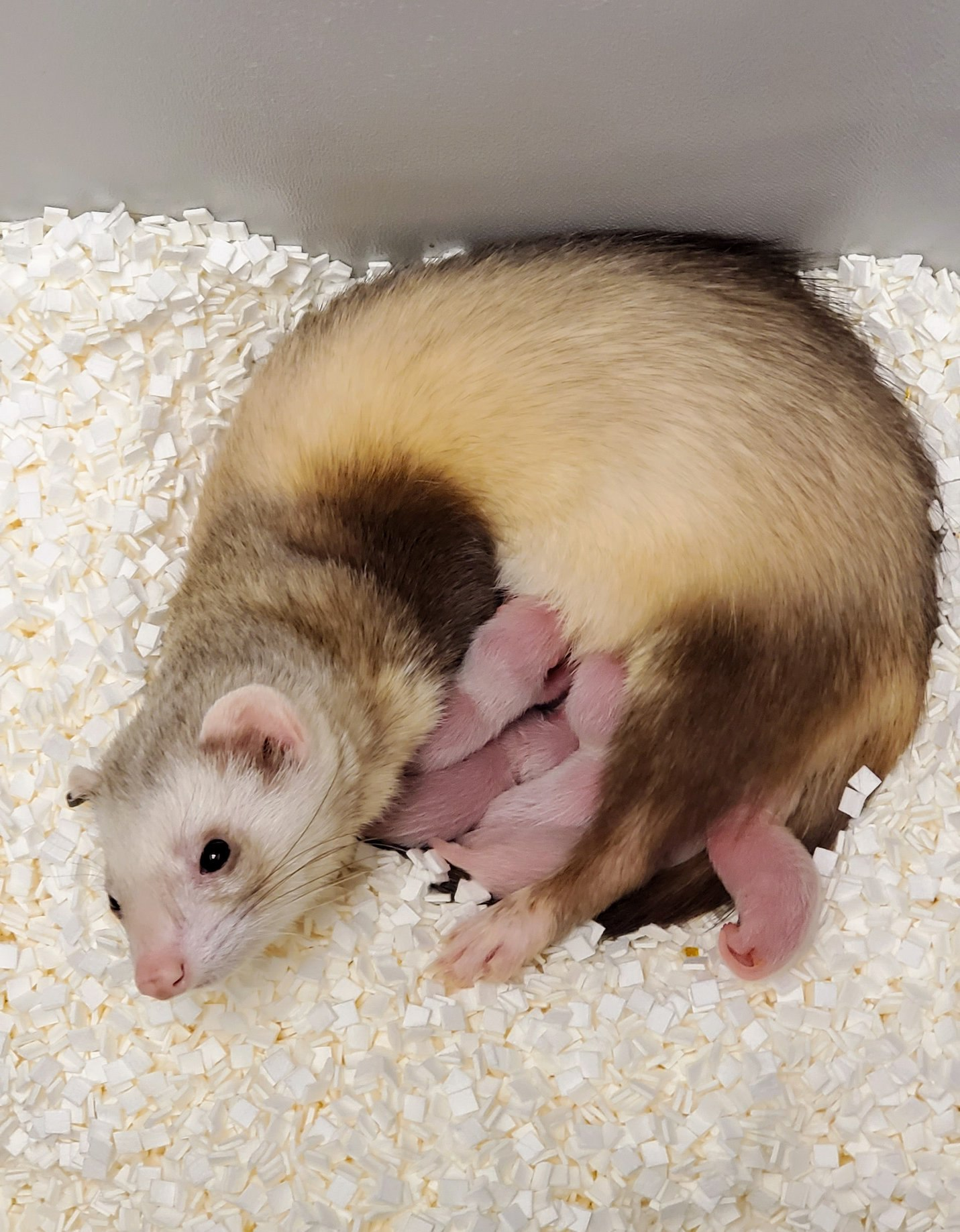 a female ferret lays down as countless newborn ferrets feed from her, one of which is clone Elizabeth Ann