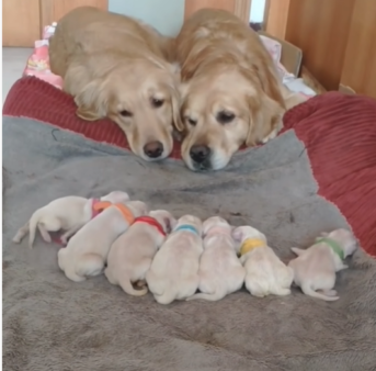 Adorable Golden Retriever Parents Look After Their New Puppies