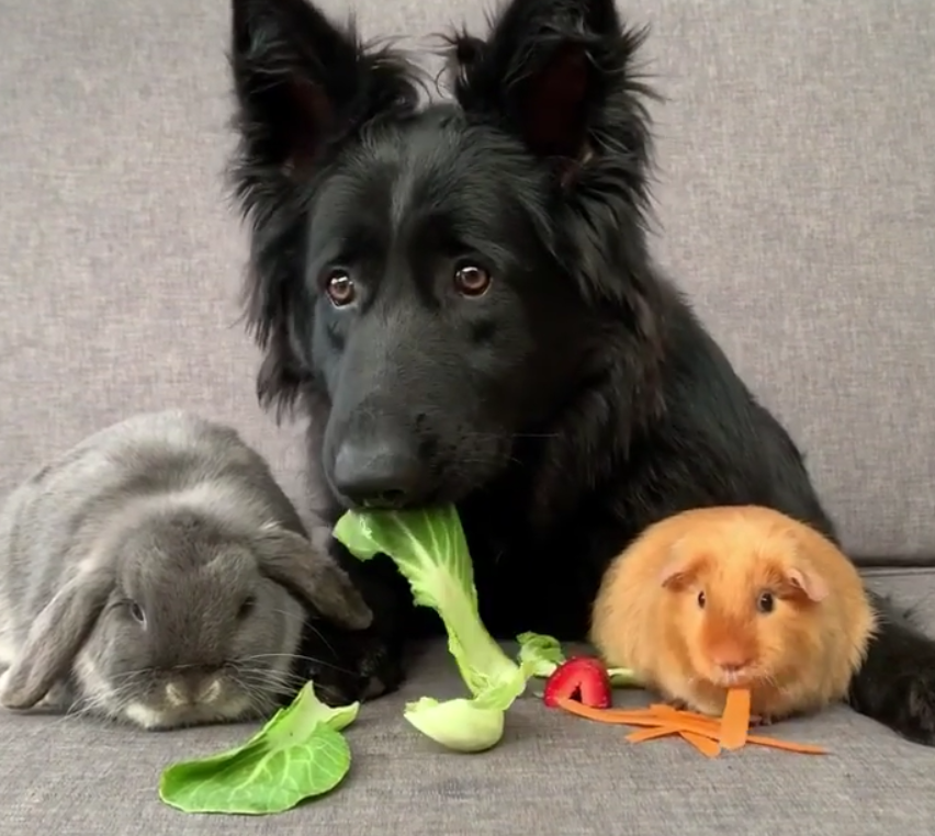A German Shepherd, A Bunny, And Guinea Pig Are Best Buddies That Do Everything Together