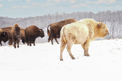 A Rare White Bison Has Been Spotted In The Ozark Mountains