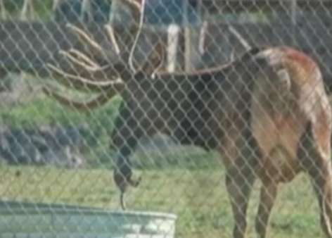 Elk Saves Drowning Marmot From His Water Trough