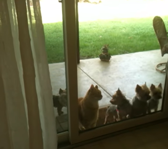 Clever Cat Opens Sliding Glass Door To Let The Dogs In