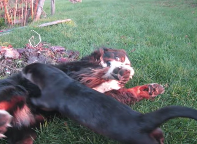 Bernese Mountain Dog And Otter Are Best Friends That Do Everything Together