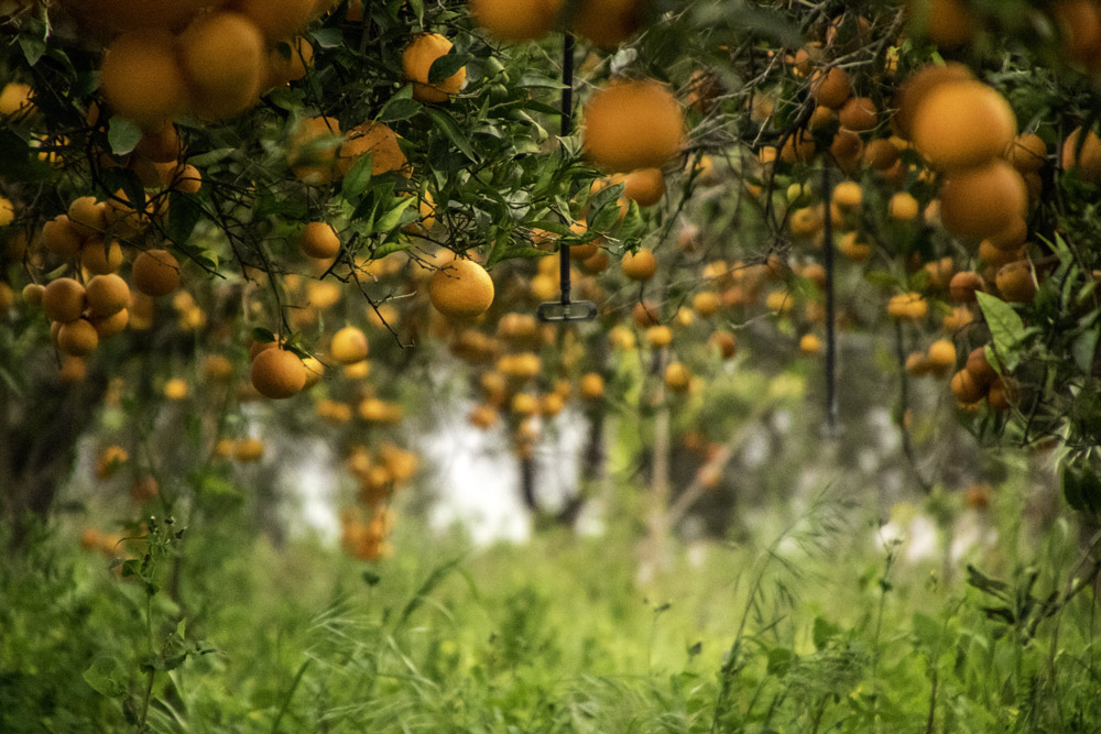 Chlorpyrifos is used to keep insects and worms off orange groves.