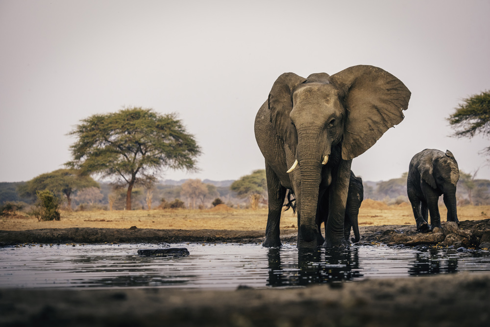 Between 2010 and 2012 alone, poachers slaughtered 100,000 African elephants.