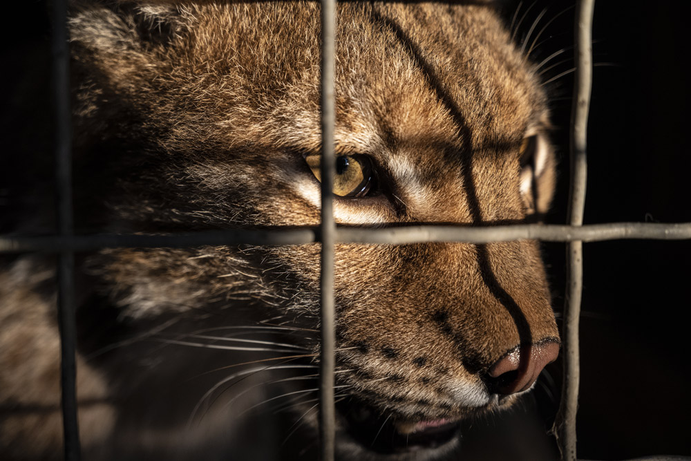 Escaped wild cats can kill people.